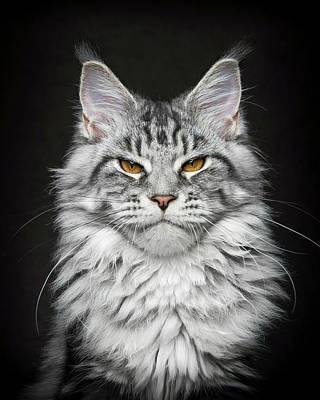 Photograph - Grumpy Silver. by Robert Sijka