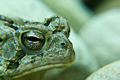Photograph - Grumpy Toad by Douglas Barnett