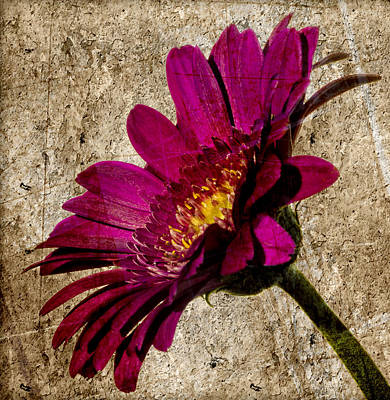 Catch Of The Day - Grungy Gerbera on stone by Paul Cullen