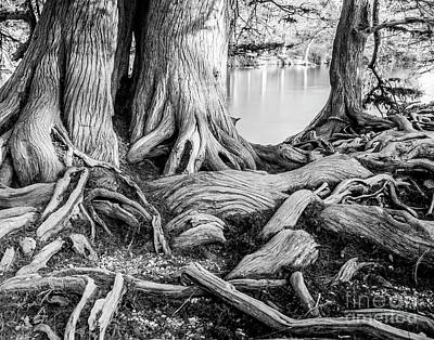 Photograph - Guadalupe Bald Cypress In Black And White by Michael Tidwell