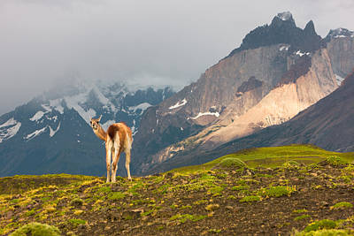 Photograph - Guanaco - Patagonia by Carl Amoth