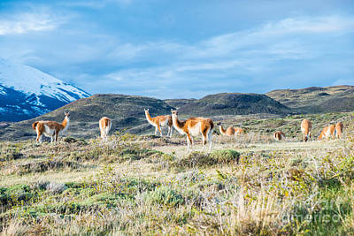 Photograph - Guanaco In Patagonia by Jim DeLillo