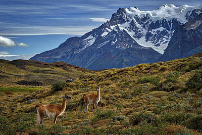 Photograph - Guanacos In Patagonia by Stuart Litoff