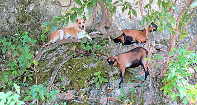 Photograph - Guardian Of The Goats by Kay Novy