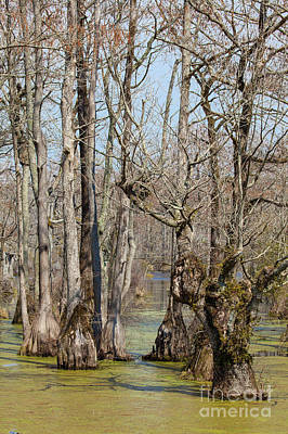 Photograph - Guardians Of The Cypress Swamp by Dan Carmichael
