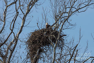 Photograph - Guarding Eagle by Jennifer White