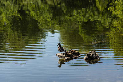 Photograph - Guarding My Sleeping Family - A Mother Duck And Ducklings On The Pond by Georgia Mizuleva