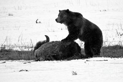 Photograph - Guarding The Carcass - Yellowstone Grizzly 2018 Crop Black And White by Adam Jewell
