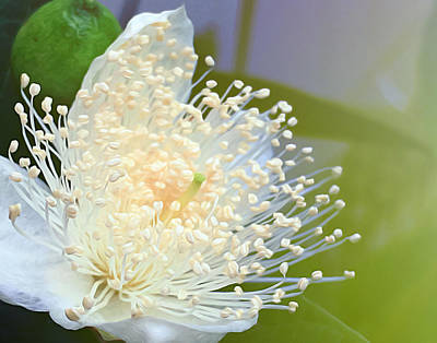Guava Tree Photograph - Guava Blossom by Carl Clay