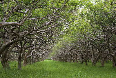 Guava Tree Photograph - Guava Kai Plantation by Dave Pattinson