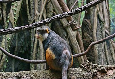 Photograph - Guenon Monkey by Allen Beatty