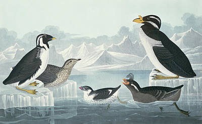 From Nature Painting - Guillemots And Auks by John James Audubon