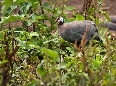 Guineafowl Photograph - Guineafowl 3 by Douglas Barnett