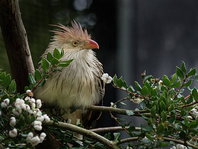 Photograph - Guira Cuckoo In The Bush by Greg Nyquist