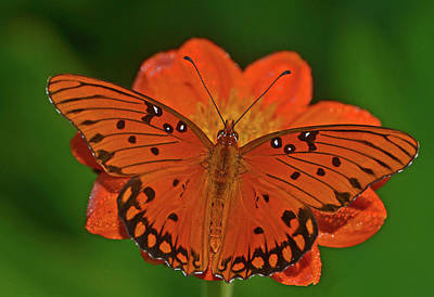 Photograph - Gulf Flittery Butterfly 025 by George Bostian