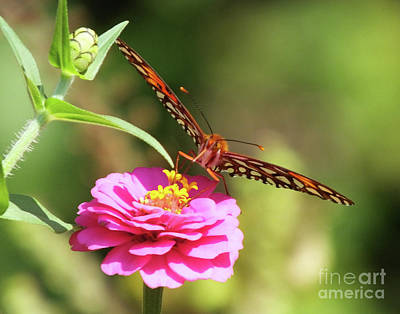 Photograph - Gulf Fritillary 13 by Lizi Beard-Ward