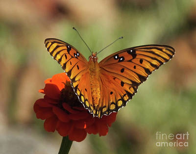 Photograph - Gulf Fritillary 14 by Lizi Beard-Ward