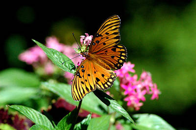 Photograph - Gulf Fritillary 3 by David Weeks