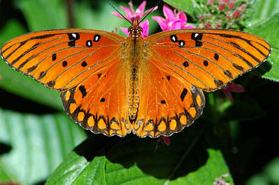 Photograph - Gulf Fritillary 4 by David Weeks