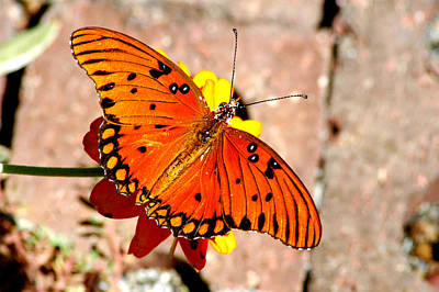 Photograph - Gulf Fritillary 6 by David Weeks