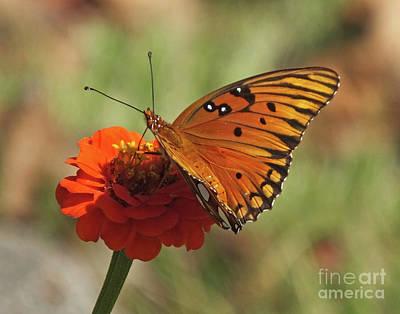 Photograph - Gulf Fritillary 7 by Lizi Beard-Ward