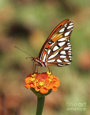 Photograph - Gulf Fritillary 8 by Lizi Beard-Ward