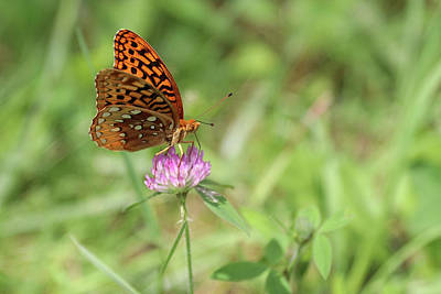 Photograph - Gulf Fritillary And Clover by Carol Montoya
