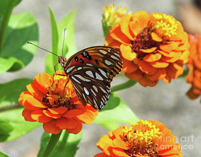 Photograph - Gulf Fritillary And Zinnia by Lizi Beard-Ward