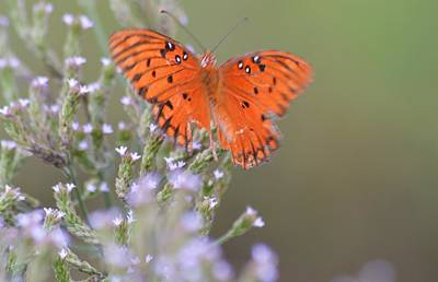 Photograph - Gulf Fritillary Butterfly And Wildflowers  by Warren Thompson