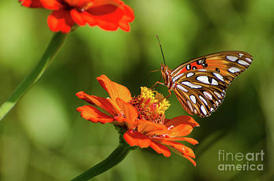 Photograph - Gulf Fritillary Butterfly by Donna Brown