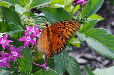 Butterfly In Motion Photograph - Gulf Fritillary Butterfly In Motion by Warren Thompson