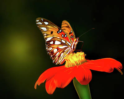 Everglades Photograph - Gulf Fritillary Butterfly by Mark Andrew Thomas