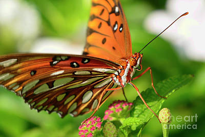Photograph - Gulf Fritillary Butterfly by Olga Hamilton