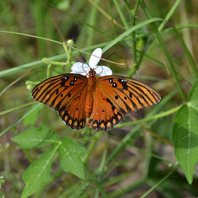 Photograph - Gulf Fritillary Butterfly On Stinging Nettle by rd Erickson