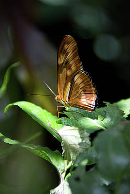 Photograph - Gulf Fritillary Butterfly by Pamela Williams