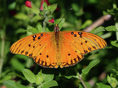 Photograph - Gulf Fritillary Butterfly by Richard Stephen