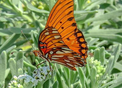 Photograph - Gulf Fritillary  by Cheryl Baxter