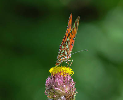 Photograph - Gulf Fritillary by Keith Smith