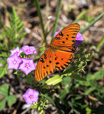 Floral Photograph - Gulf Fritillary by Norman Johnson