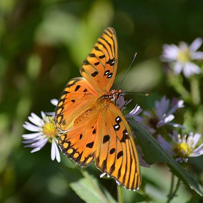 Photograph - Gulf Fritillary On Asters by rd Erickson