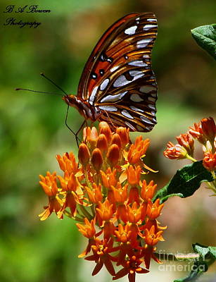Wildflowers Photograph - Gulf Fritillary On Butterflyweed by Barbara Bowen