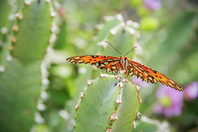 Photograph - Gulf Fritillary On Cactus  by Saija Lehtonen