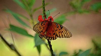 Photograph - Gulf Fritillary On Red Porter Weed by Carol Bradley
