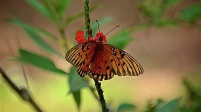 Photograph - Gulf Fritillary On Red Porter Weed by Carol Bradley