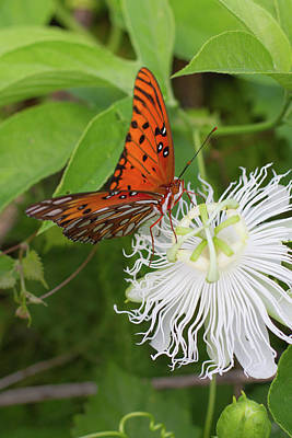Photograph - Gulf Fritillary On White Passionflower by Paul Rebmann