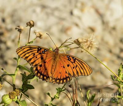 Photograph - Gulf Fritillary by Steven Parker