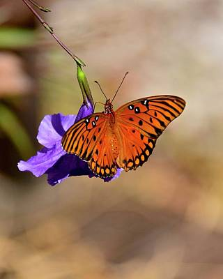 Photograph - Gulf Fritllary On Mexican Petunia by Carol Bradley