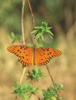 Photograph - Gulf Frittilary Butterfly by John Burk