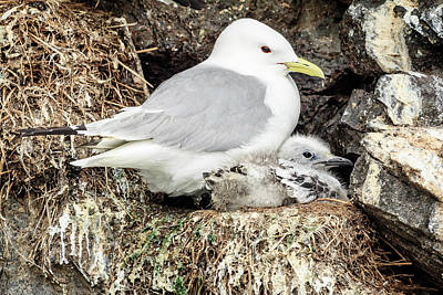 Photograph - Gull Adult And Chick On Cliff by Joni Eskridge