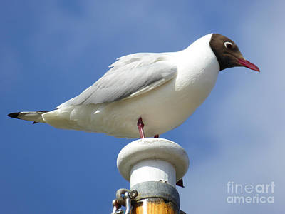 Photograph - Gull by Anne Gordon